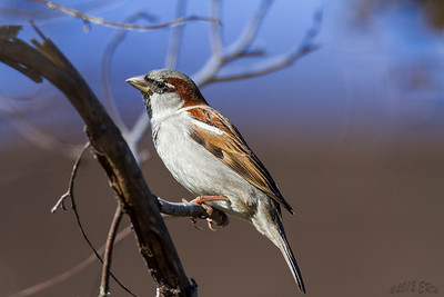 House (English) Sparrow