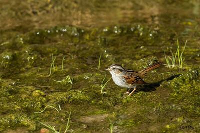 The elusive Swamp Sparrow.