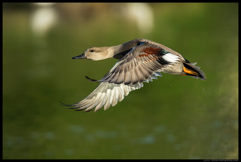 A male Gadwall seconds after takeoff.