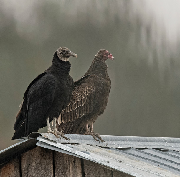 Black Vulture and a Turkey Vulture