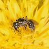 Bee in a Dandelion