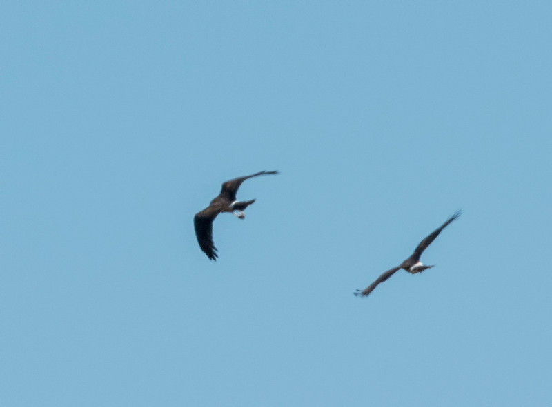 Two Northern Harriers fight over a small critter that one of them caught
