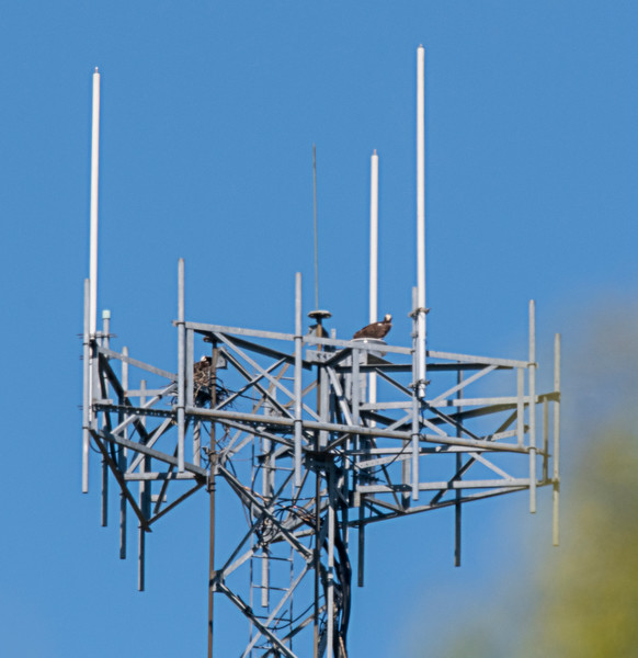 The Osprey are back at the cell tower across the road from my house