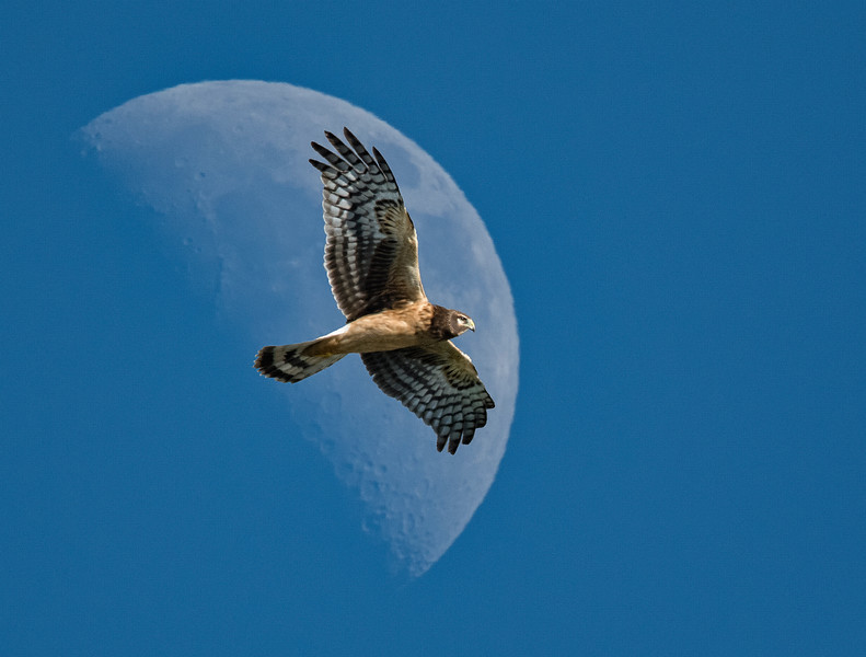 Northern Harrier and Moon