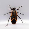 Boxelder Beetle