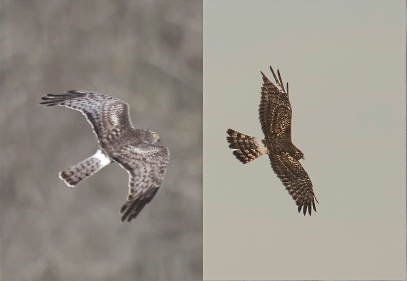 Male and female Northern Harriers.