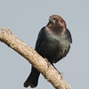 Brown-headed Cowbird male