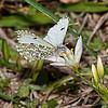 Falcate Orangetip female