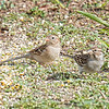 Field Sparrow and chipping sparrow
