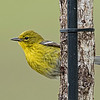 Pine Warbler male