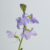 Blue Toadflax