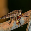 Robber Fly with a wasp