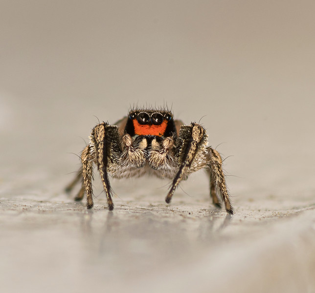 """Jumping Spider 1/8"""" long"""