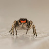 "Jumping Spider 1/8"" long"