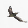 Osprey with nest materials