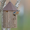 Eastern Bluebird checking out nest box