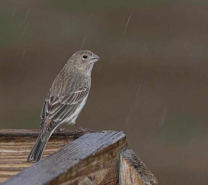 House finch in the rain