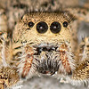 Jumping Spider (Habronattus coecatus group)