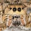 Jumping Spider (Habronattus coecatus group)
