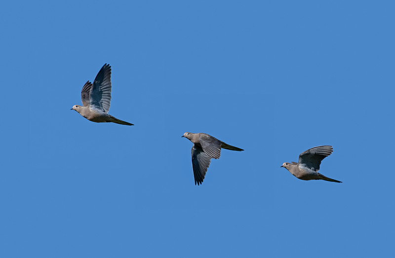3 shot sequence of a Mourning dove flyiong