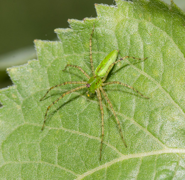 Green Lynx Spider male