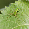 Green Lynx Spider male