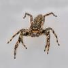 Tan Jumping Spider - (Platycryptus undatus) male
