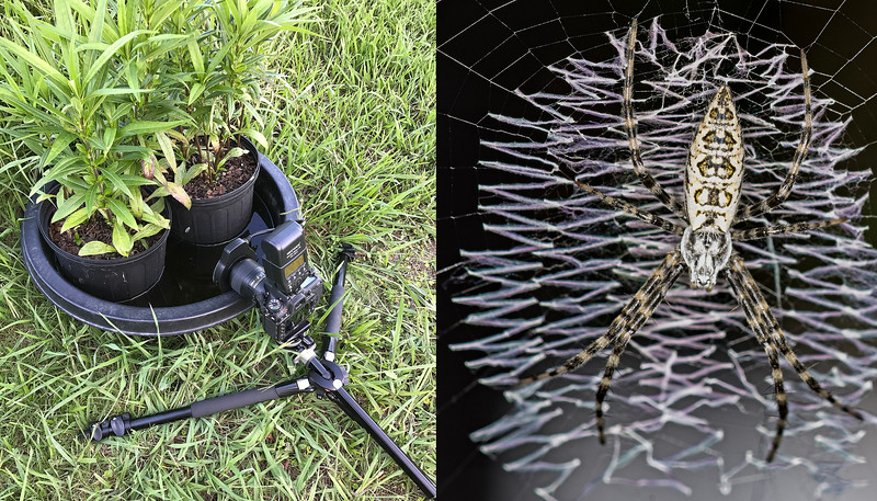 The Black and Yellow Argiope Spider AKA Garden Spider is a very large spider as an adult. Here is a juvenile and the set up used to make the photo. The tiny white spot between the pots is the spider and its web.