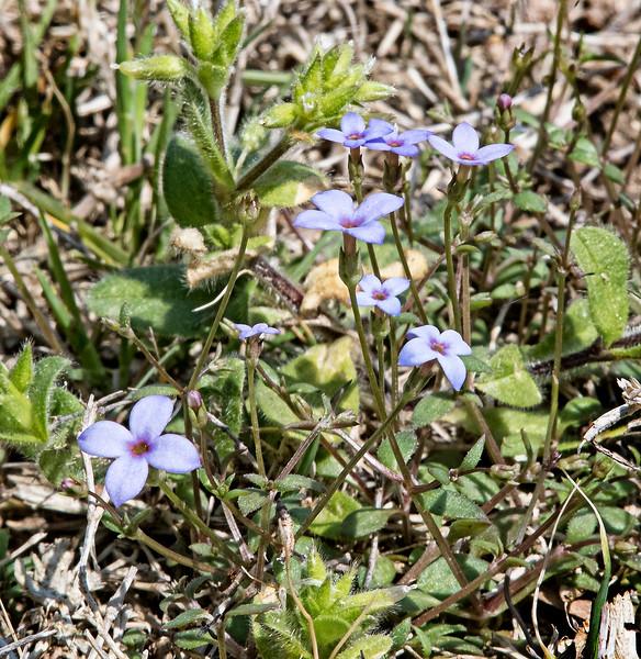 Bluet (Hedyotis crassifolia)