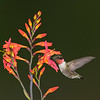Composite of Hummingbird and Crocosmia flower