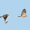 Two photo sequence of the hawk