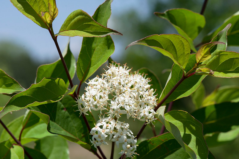 Silky Dogwood (Cornus amomum)