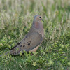 Male Mourning Dove strutting