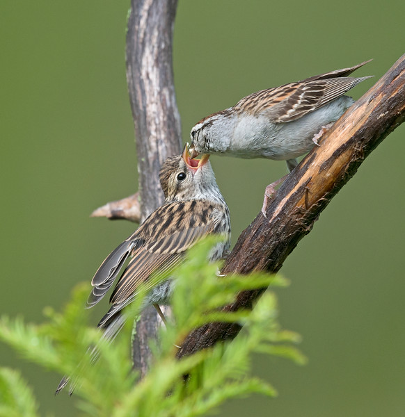 Chipping Sparrows