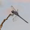 Slaty Skimmer (Libellula incesta)