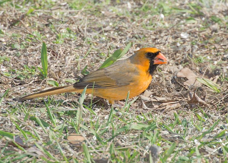 Northern Cardinal yellow morph
