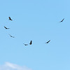 A kettle of Turkey Vultures