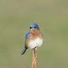 Eastern Bluebird preening