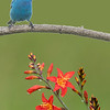 Composite of Indigo Bunting and Crocosmia flower