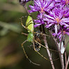 Green Lynx Spider with a bee