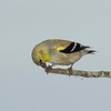 Goldfinch with sunflower seed