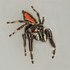Red-backed Jumping Spider (Phidippus clarus) female