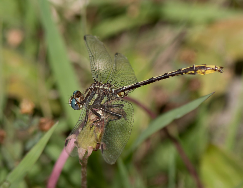 Lancet Clubtail Dragonfly