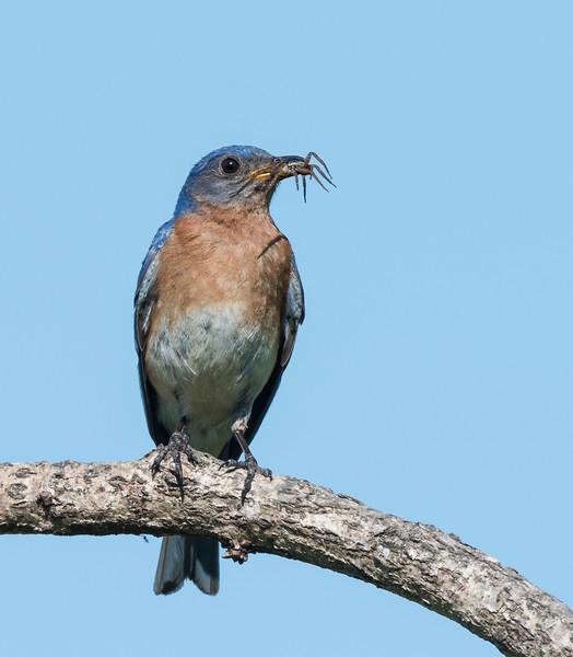 Bluebird with spider