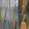 Narrowleaf Cattail (Typha angustifolia)
