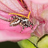 Jumping Spider Proterva (Pelegrina proterva)