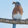 Eastern Bluebird with a spider