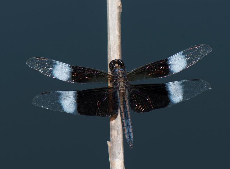 Widow Skimmer