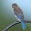 Eastrrn Bluebird juvenile