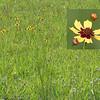 Garden Coreopis (Coreopis tinctoria)
